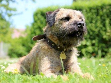 Border Terrier - Bien-être et satisfaction absolus. Un chien assis dans l'herbe.