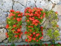 Flores vermelhas - Flores vermelhas no jardim. Um close-up de uma flor.