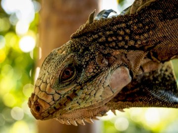 Observando Iguana - Dragón barbudo marrón y negro. Maracay, Venezuela. A cerca de una cabeza de lagarto.