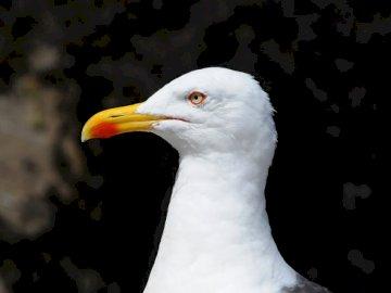 Retrato detallado de un mar - Pájaro blanco con pico amarillo. Alemania. A cerca de un pájaro.