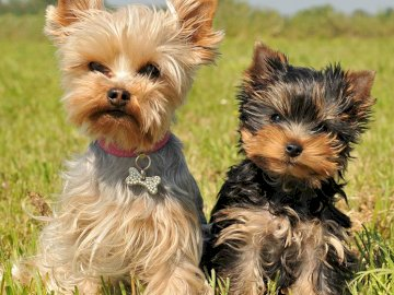 Dos perros en el parque - En este rompecabezas, van a encontrar dos hermosos perritos. Un pequeño perro marrón y blanco.