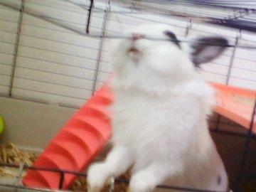 """Mały krasnolud królik, który chce wydostać się ze swojej klatki ? - Nasz mały królik??Popie, który """"walczy"""", by wybiec poza swoją klatkę!. Kot siedzi na szczyc"""