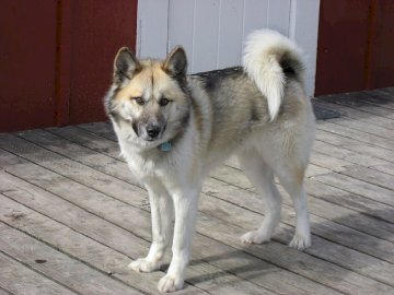 Greenland dog - Standing, proud representative of the canine breed. A dog standing on top of a wooden door.