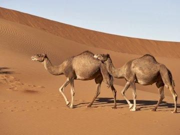 Dromadery - Dromadery maszerują przez pustynię. Wielbłąd chodzi na plaży.
