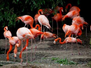 Roze flamingo's - Een zwerm roze flamingo's. Een troep van zeemeeuwen die zich op gras bevinden.