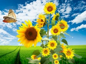 Sunflowers. - Puzzle: sunflowers against the sky. A yellow flower in a field.