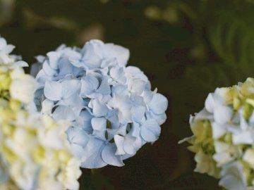 Niebieska hortensja - Białe i niebieskie kwiaty w soczewce z przesunięciem. Bay area, Kalifornia. Zamknięty kwiat.