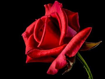 Dla Mamusi - Czerwona róża na Dzień Matki