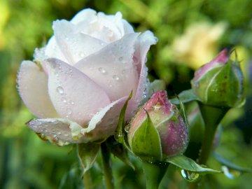 Białe róże - Trzy piękne białe róże ...