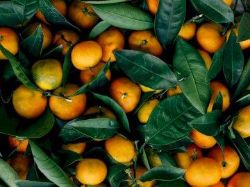 Jesienią cytrusy - Owoce pomarańczowe. San Francisco. Grupa pomarańczy z zielonymi liśćmi.