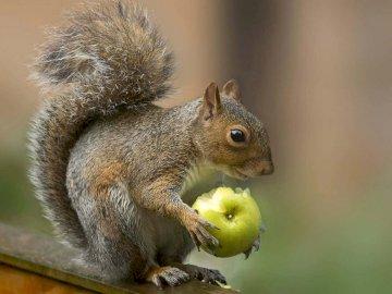 Squirrel puzzle - Solve the squirrel puzzle. A close up of a squirrel.
