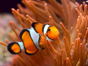 Clown fish - Solve the clown fish puzzle. A close up of a fish.
