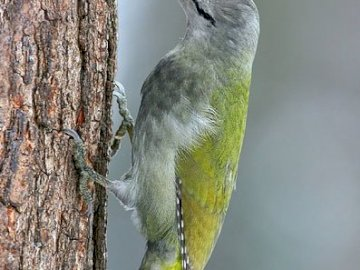 Gray-headed Woodpecker - He leads a sedentary or nomadic lifestyle. He is happy to be on the ground looking for ants.