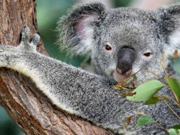 Koala est un animal - Koala - une espèce marsupiale de la famille des koala, herbivore arboricole, habitant l'est de