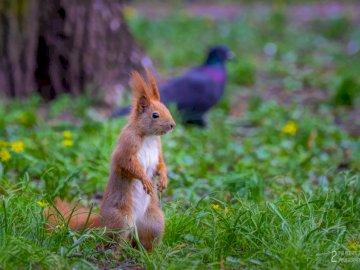 Wiewiórka w parku - Wiewiórka w parku w Żyrardowie