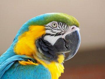 Domowa gadułka - Papuga ptak domowy ..........