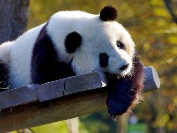 panda i nuda - panda jest sama i się nudzi