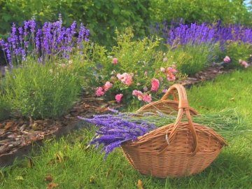 Ogród Pachnący Lawendą - Ogród  Z Różami I Lawendą, Koszyk Z Lawendą