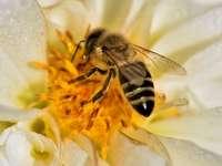 Pszczoła - Pszczoła na kwiatku