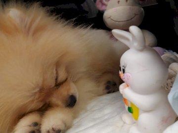Anastasia - Cucciolo di Pomerania
