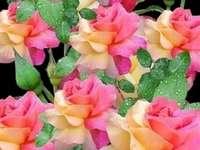 Dwukolorowe róże. Online-Puzzle