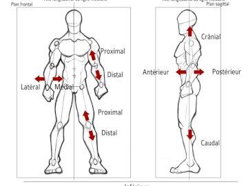 Anatomie et Orientation - Orientation et Anatomie