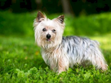 Pies Yorkshire Terrier - Pies Yorkshire Terrier