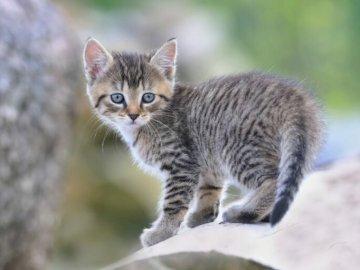 Kotek Derlina - Piękny kotek Derlina. Łatwe puzzle