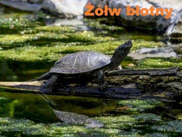 Tartaruga do pântano - Tartaruga de lagoa europeia é a única espécie de tartaruga encontrada na Polônia