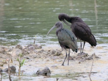 Ibis em Eure et Loir (França - Dois pássaros perto do lago.