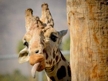 girafa de animais exóticos - girafa de animais exóticos