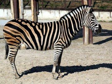 animais exóticos da zebra - animais exóticos da zebra