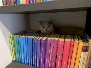 Kitty atrás dos livros - O gatinho escondido na estante de livros