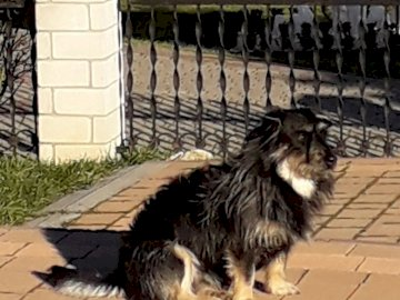 Czaruś - Cão favorito, esperando o dono