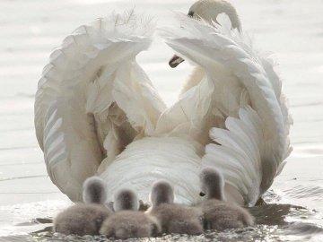 Pero. - Labuť s malými labutěmi.