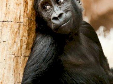Bardzo miły goryl - Bardzo miły goryl, zamyślony