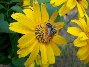Kwiat i pszczoła - W trakcie zbierania pyłku