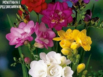 Freesias colorés. - Puzzle. fleurs: freesias colorés.