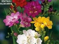 Πολύχρωμες φρέζιες. - Παζλ. λουλούδια: πολύχρωμες φρέζιες.