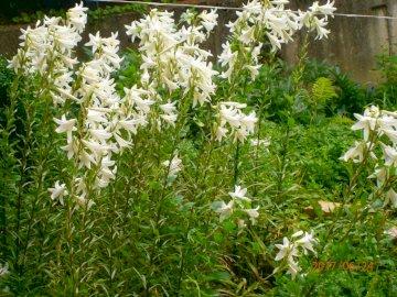 PLANTEN - Observatiebord voor klasse II - lenteleliesbloemen