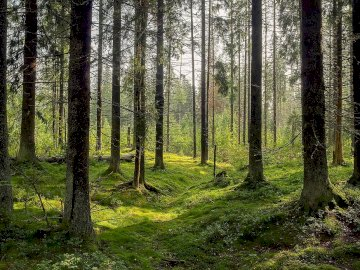 coniferous forest - Puzzles are intended for students of class I. The picture shows a coniferous forest.
