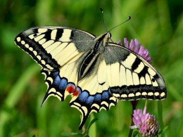 paź królowej - motyl paź królowej