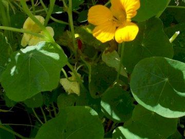 Nasturtium in the garden - beautiful nasturtium in Dorota's garden