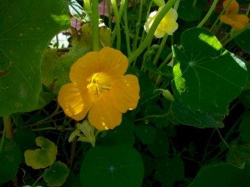 Nasturtium in the garden 1 - Beautiful nasturtium in the hall garden
