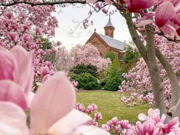 magnolias in the yard - magnolias in the yard
