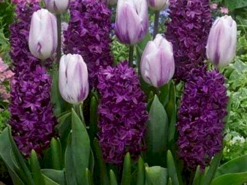 flowers in purple - tulips and hyacinths in purple
