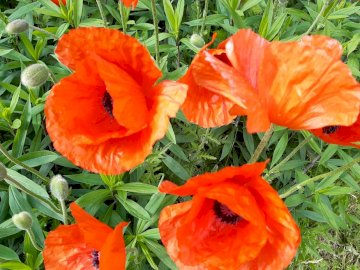 red poppies in the meadow - red poppies in the meadow