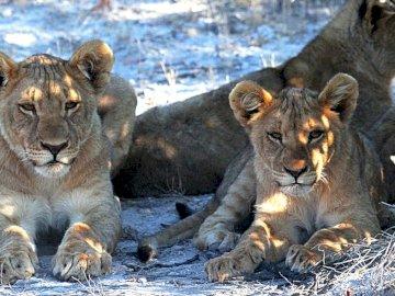 δύο λιονταράκια - λιοντάρι στη σαβάνα κάτω από το δέντρο