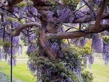 lavendar shrub - A large lavender shrub