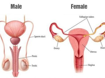 Human Reproductive Sytem - This puzzle show you about female and male reproductive system